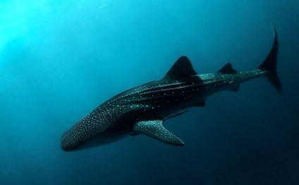 Whale Shark II