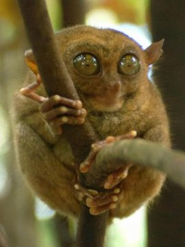 A tarsier clings to a branch in a wildlife sanctuary in the central Philippine island of Bohol. The tarsier is the world's smallest primate and a protected species in the Philippines.