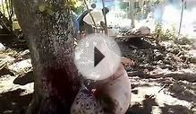 pig slaughter, Philippines on the island of Cebu